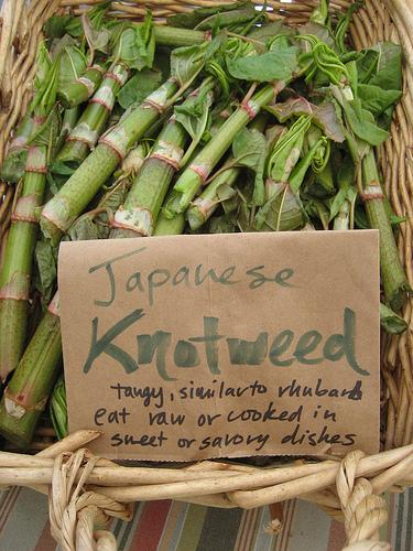 jap-duizendknoop-markt