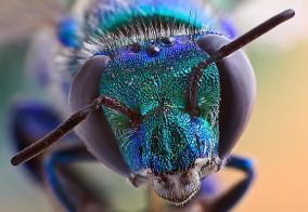 Euglossa viridissima
